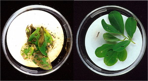 GMO Disease Resistant